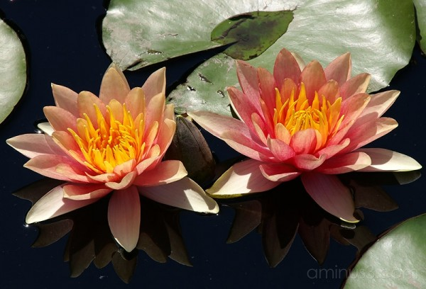 Longwood Gardens - Waterlily