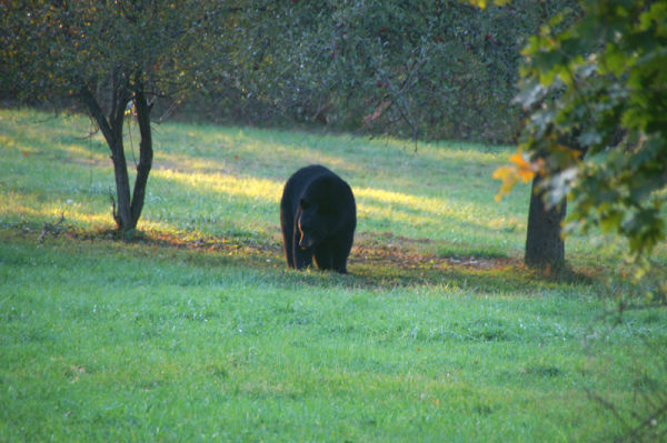 Bear in the Orchard