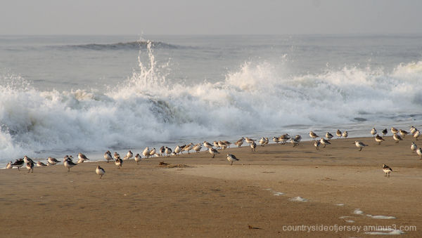 Shore Birds and Wave