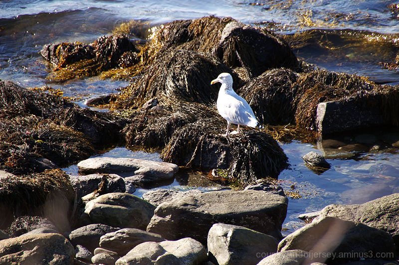 Seagull, Rocks and Seaweed
