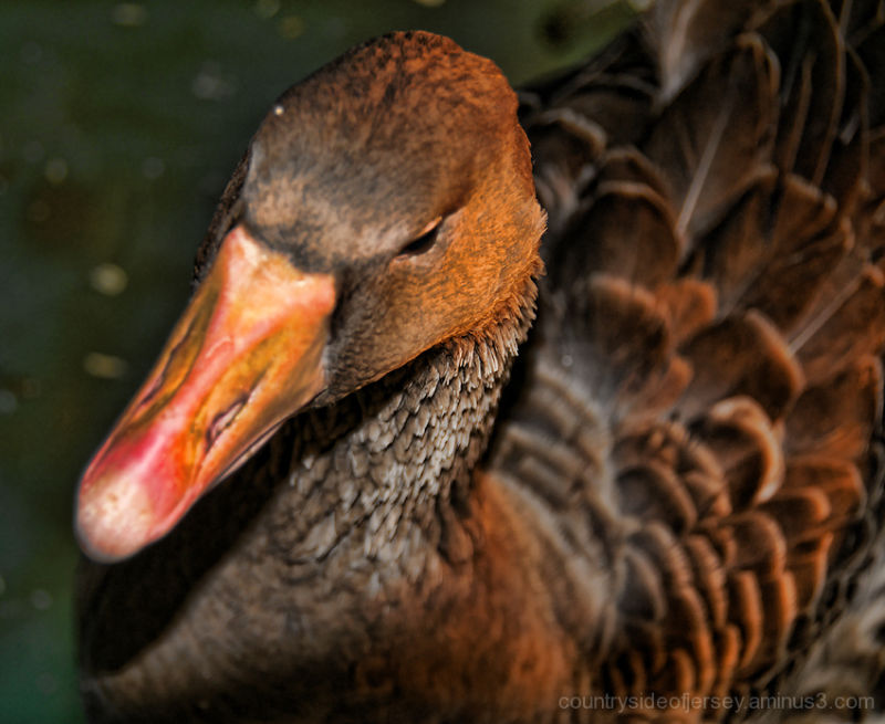 Silly Tuesday - I'm Not the Aflac Duck!