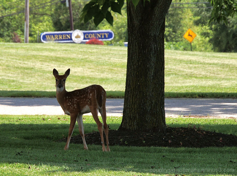 Silly Tuesday - Fawn on the Lawn