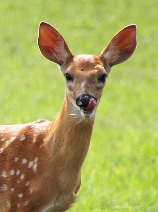 Silly Tuesday - Silly Fawn