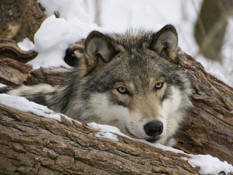 Lakota Wolf Preserve, Columbia NJ