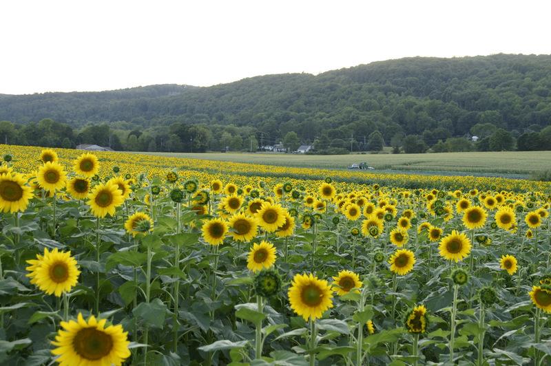 Donaldson Farm Sunflowers
