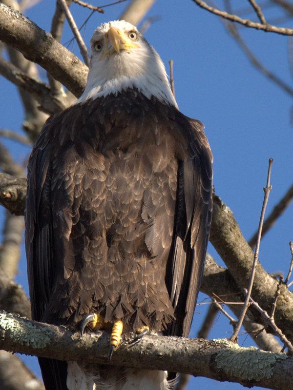 Shady Lane Eagle