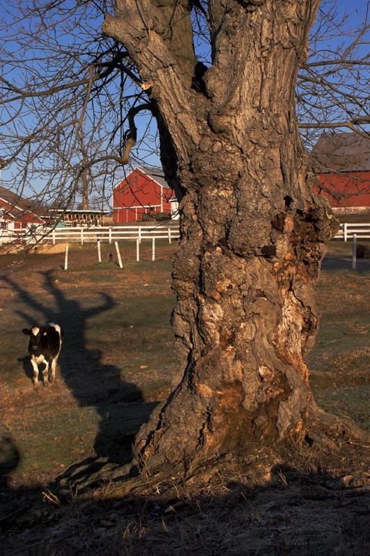 Tree & Cow