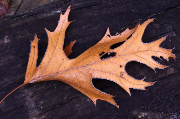 Oak Leaf with Frost