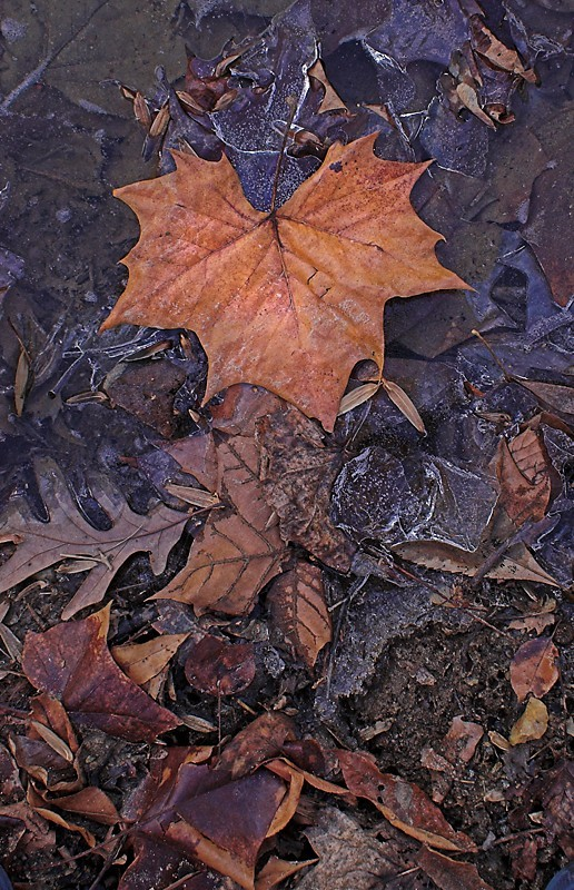 Leaves in Icy Pond