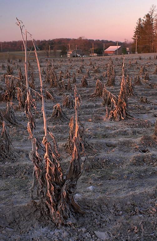 Winter Corn Field