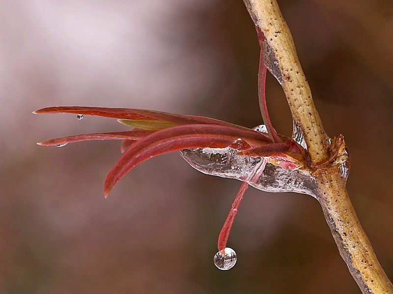ice covered honeysuckle