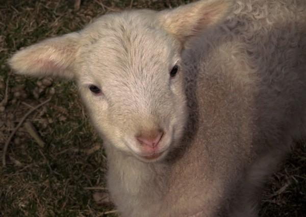 Lamb  One Week Old
