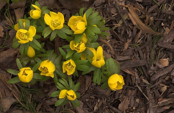 winter aconite