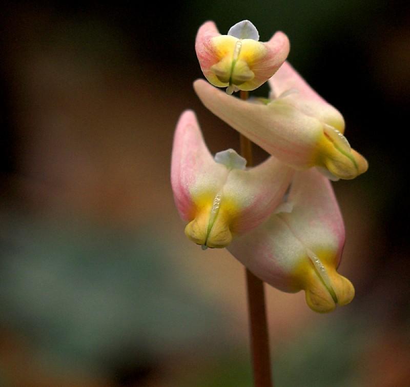 Dutchman's-Breeches spring wildflower