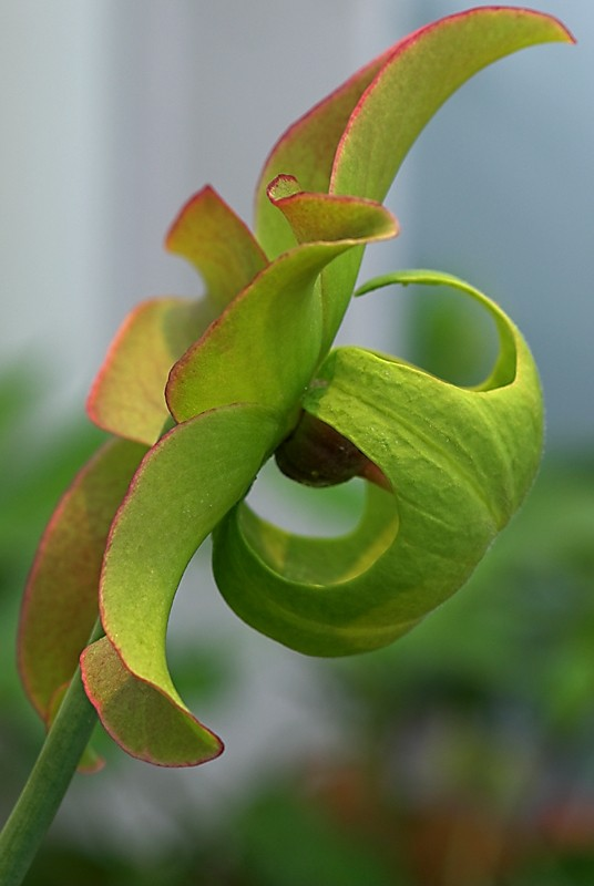 Flower of North American Pitcher Planat