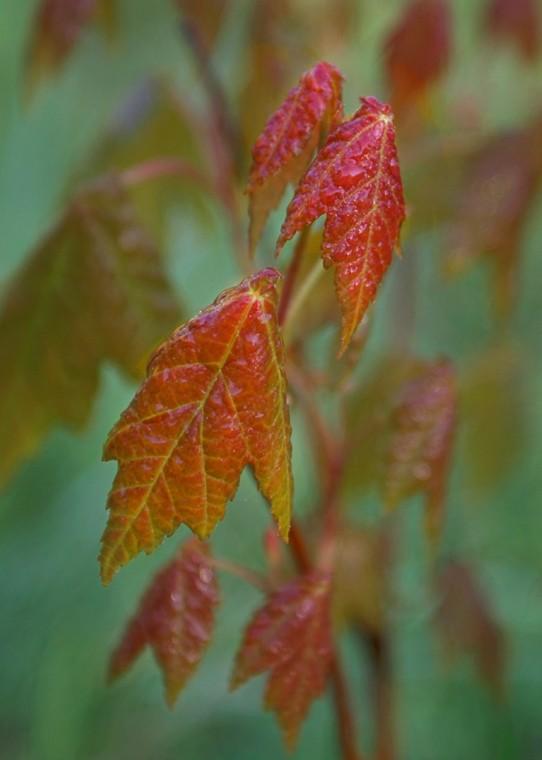 Emerging Maple Leaves
