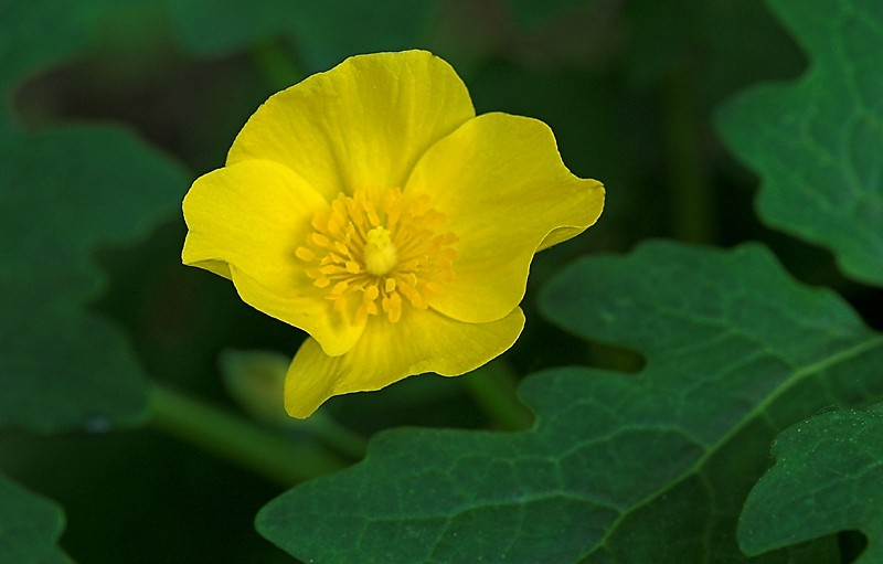 Wood or Celandyne Poppy (Stylophorum)
