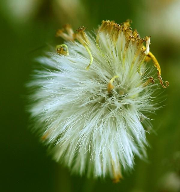 Seedhead,  Golden Ragwort (Senecio aureus)