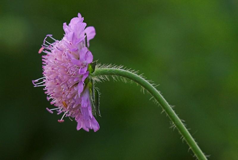 Pincushion Flower or Scabiosa