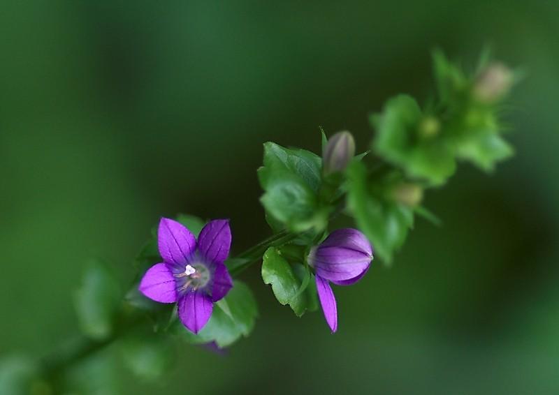 Venus' Looking-glass,  Wildflower