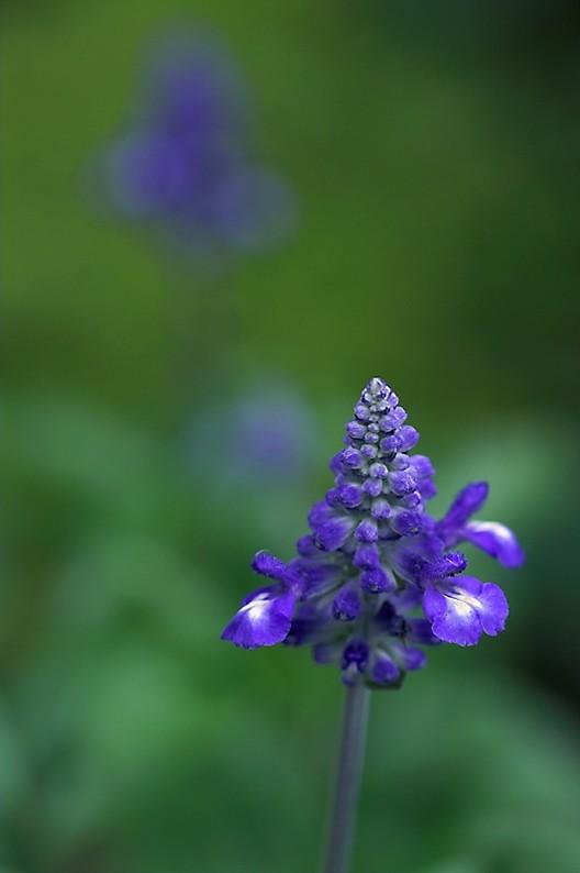 Blue Salvia, Flower, Annual