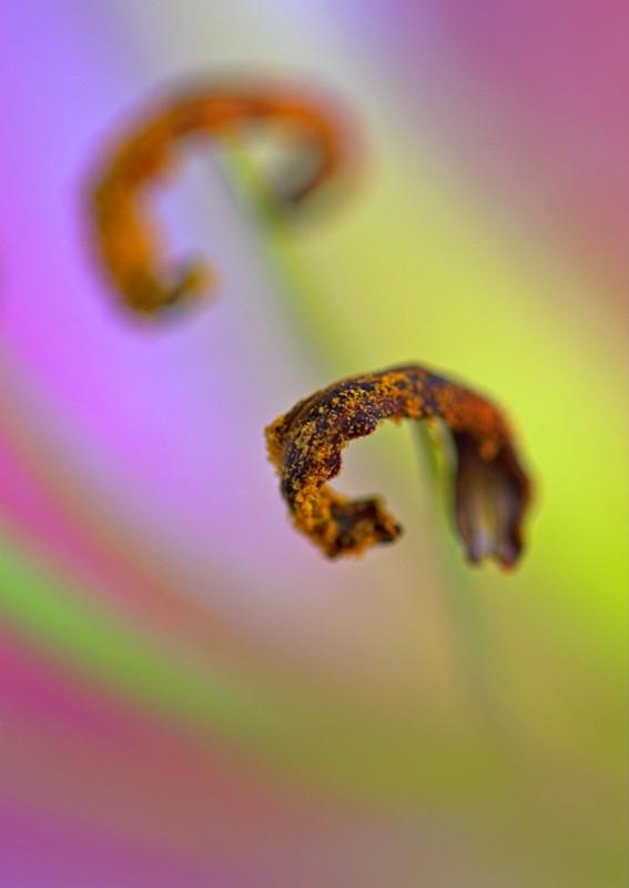 Lily stamen