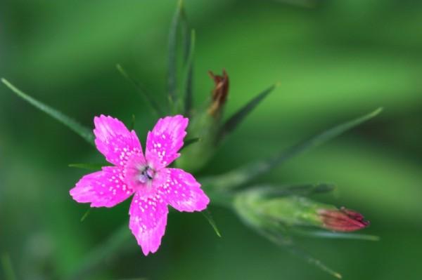 Depford Pink (Dianthus armeria)