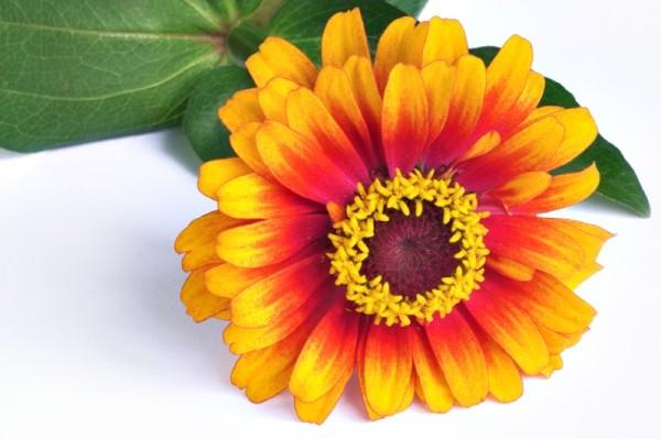 """Zinnia """"Zowie"""", flower, annual"""