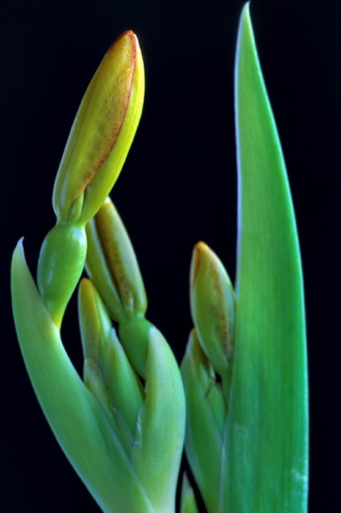 Belamcanda chinensis, Blackberry Lily