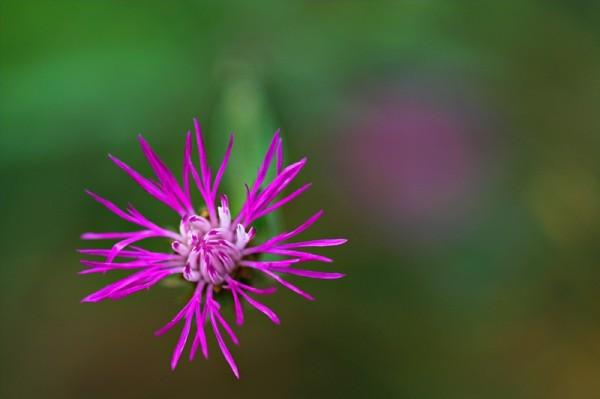 Spotted Knapweed (Centaurea maculosa)