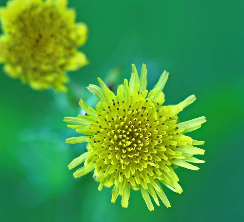 Spiny-Leaved Sow-Thistle
