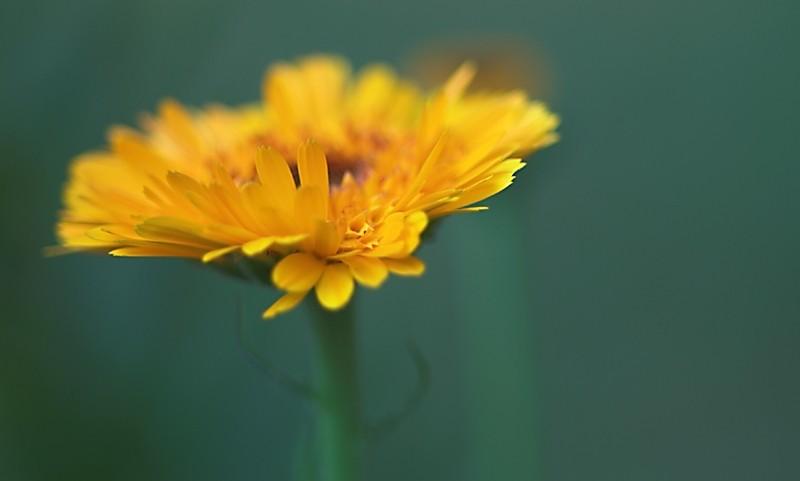my-garden Calendula flower