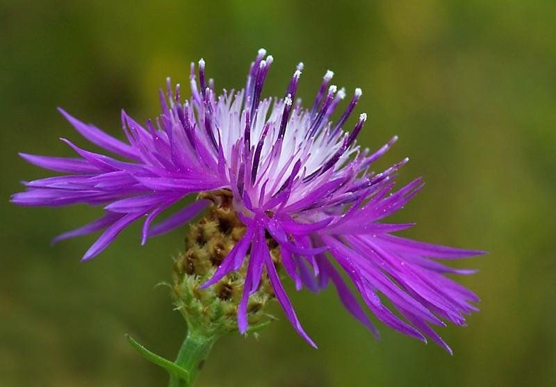 wildflower flower