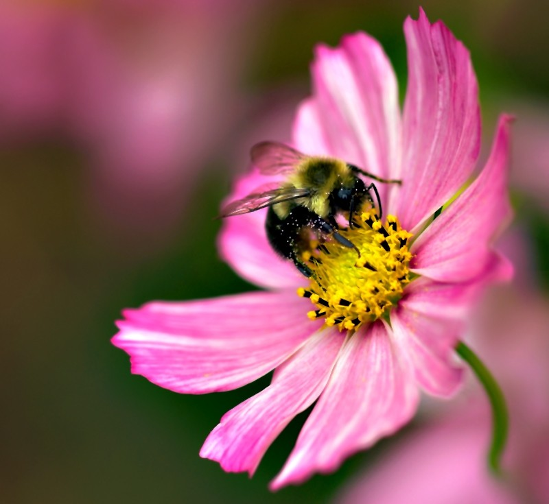 Pollen-covered Bee on Cosmos