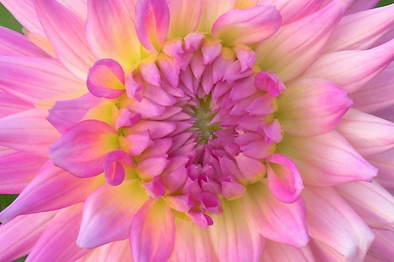 dahlia pink Longwood flower