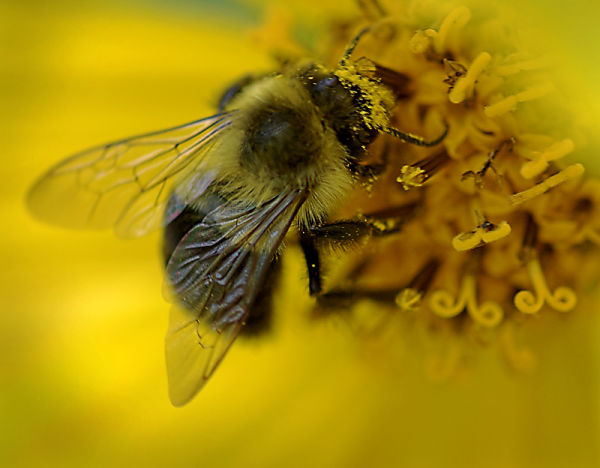 Bee on Helianthus (a native sunflower)