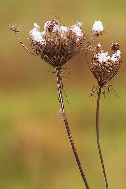 Queen Anne's Lace with Snow
