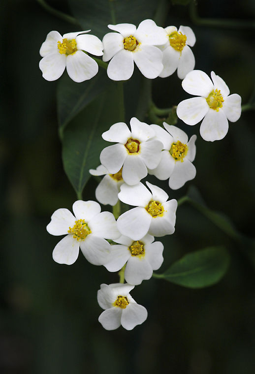 Little White Flowers
