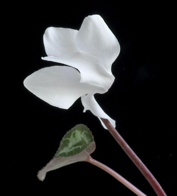 White Cyclamen