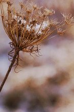 Queen Anne's Lace with Snow 2