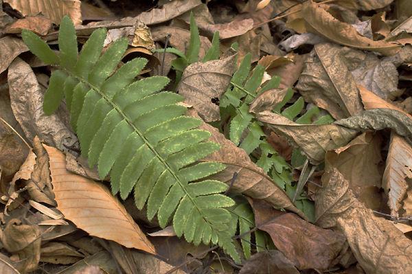 Early Winter Ferns