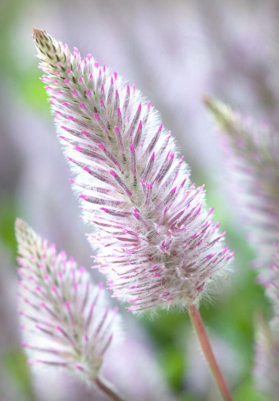 Pink Mulla-mulla