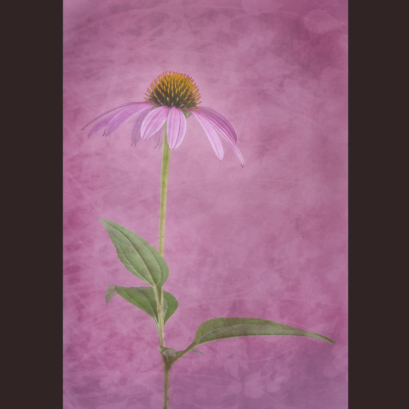 Coneflower (Echinacea) with Texture