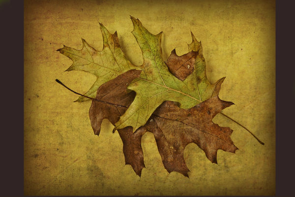 Oak Leaves  Second Try