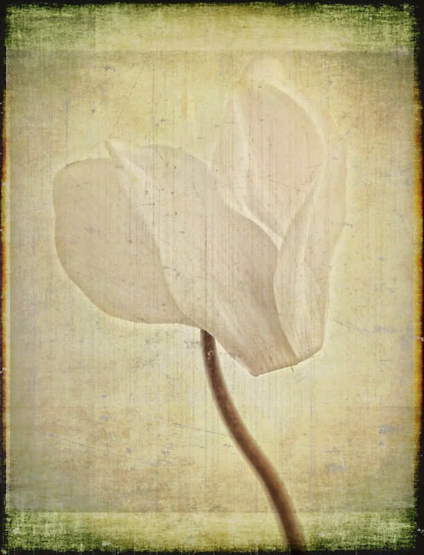 White Cyclamen with Textures