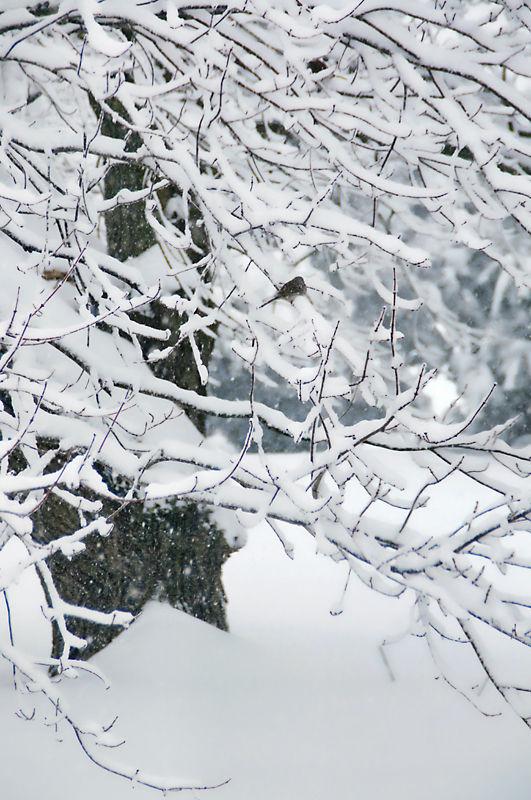 Snowy Maple