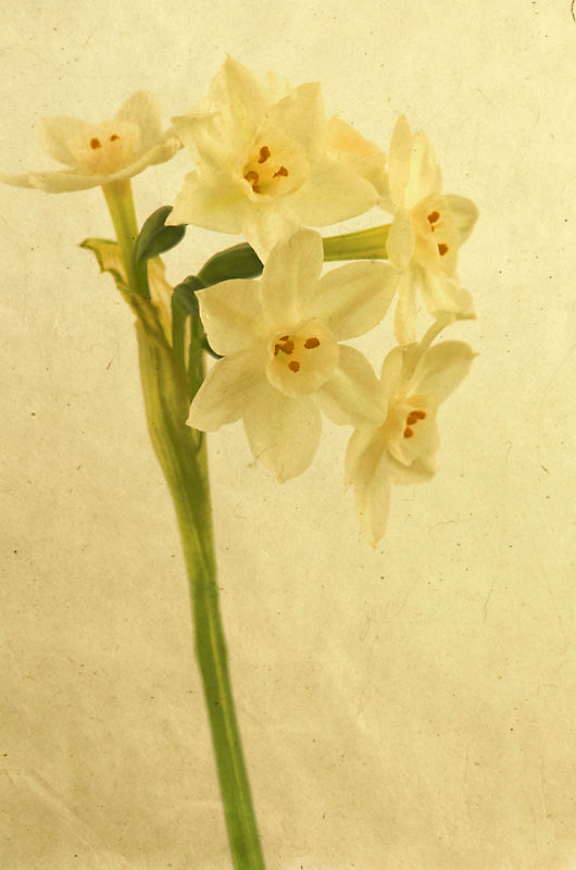 Winter Narcissus Two