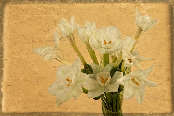 Winter Narcissus Three
