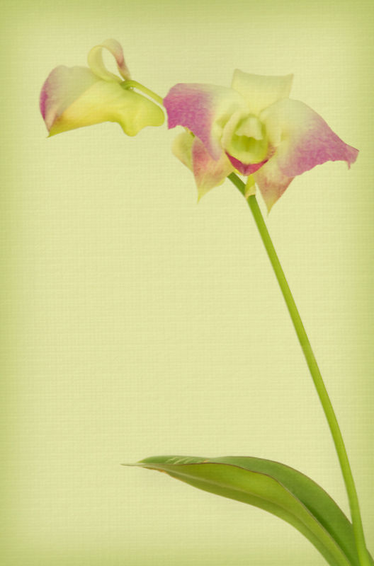 anna's orchid 4