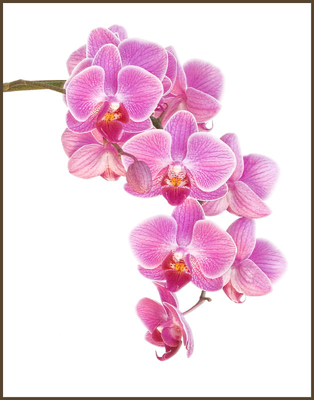 anna's orchids 5